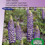 Lupin polyphylle vivace Russell Hybrids The Governer