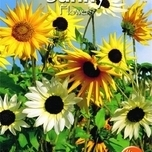 Tournesol - Sunny Flowers - Esther