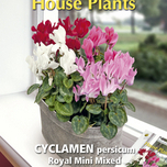 Plante d'Appartement Cyclamen Royal mini mix