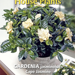 Plante d'Appartement Gardenia Cape Jasmine