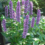Agastache « Blue Fortune »