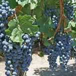 Raisin 'Boskoop Glory' (Vitis)