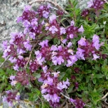 Thymus praecox Purple Beauty - Thym